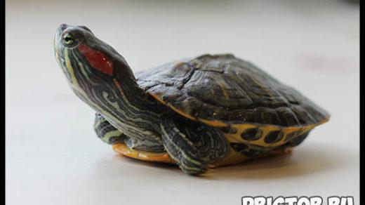 Красноухая черепаха - как ухаживать в домашних условиях 1