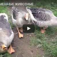 Прикольные, смешные и веселые животные - видео смотреть