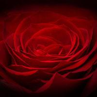 Розы - красивые фото, картинки, смотреть бесплатно 14
