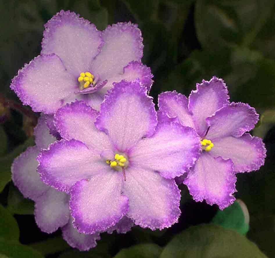 статьи картинки с цветами красивые фиалка шварцкопфа