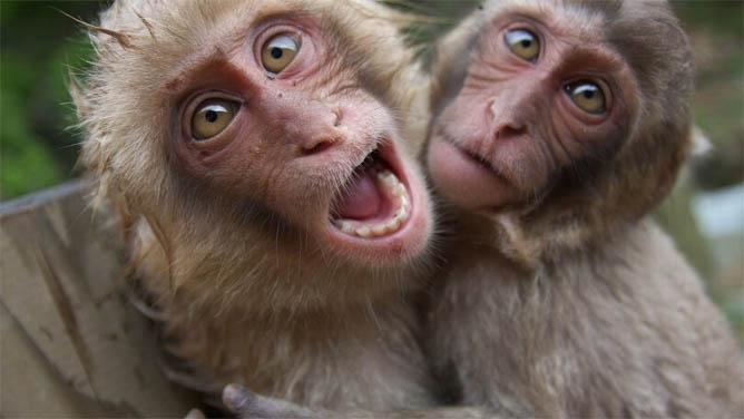 Фото обезьяны - смешные, веселые, ржачные, прикольные 1