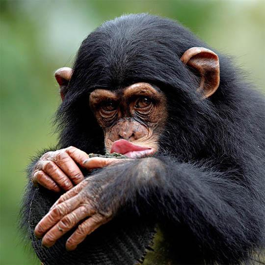Фото обезьяны - смешные, веселые, ржачные, прикольные 10