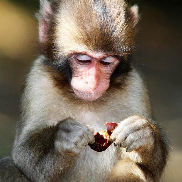 Фото обезьяны - смешные, веселые, ржачные, прикольные 15