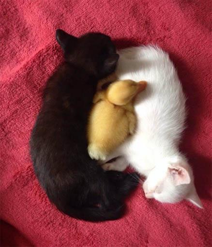 Черно-белые коты - фото, картинки, красивые, прикольные 12