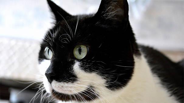 Черно-белые коты - фото, картинки, красивые, прикольные 13