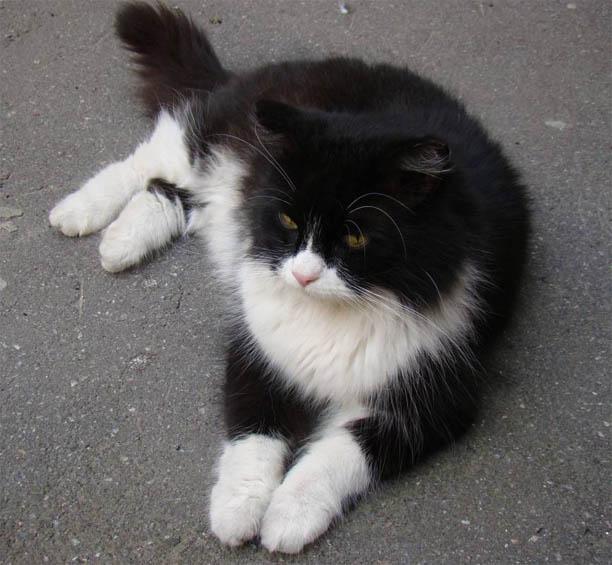 Черно-белые коты - фото, картинки, красивые, прикольные 14