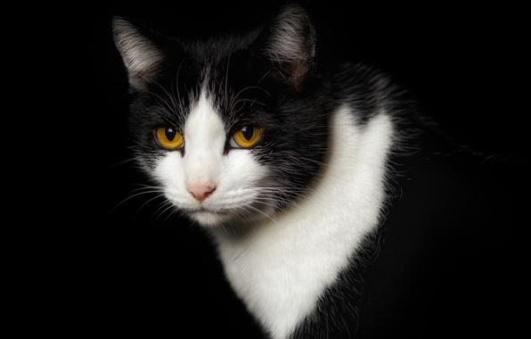 Черно-белые коты - фото, картинки, красивые, прикольные 15