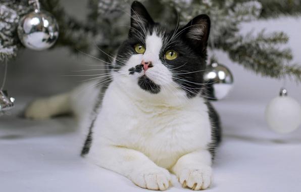 Черно-белые коты - фото, картинки, красивые, прикольные 16