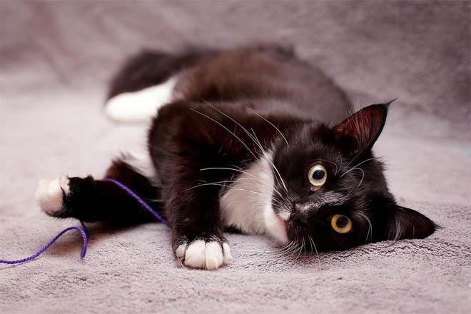 Черно-белые коты - фото, картинки, красивые, прикольные 4