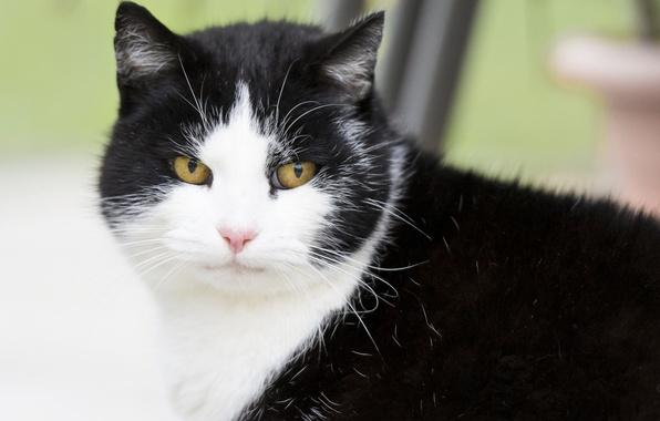 Черно-белые коты - фото, картинки, красивые, прикольные 9