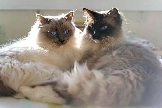 Белый кот с голубыми глазами - красивые фото, картинки, смотреть 11