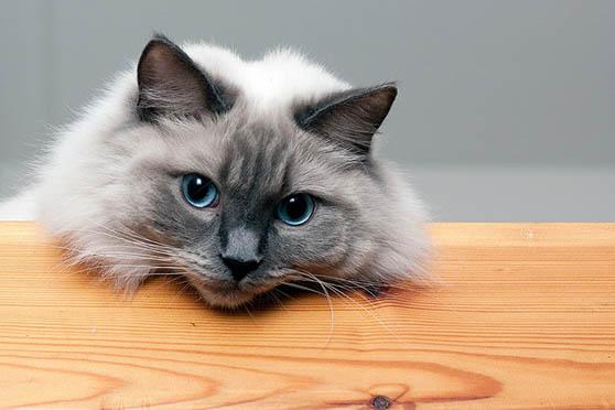 Белый кот с голубыми глазами - красивые фото, картинки, смотреть 15