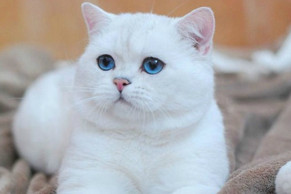 Белый кот с голубыми глазами - красивые фото, картинки, смотреть 18