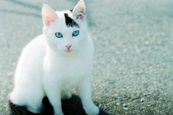 Белый кот с голубыми глазами - красивые фото, картинки, смотреть 20