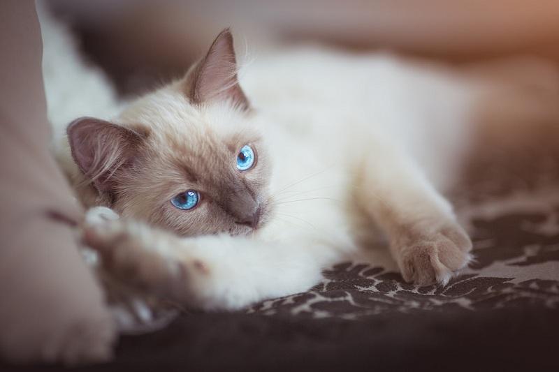 Белый кот с голубыми глазами - красивые фото, картинки, смотреть 22