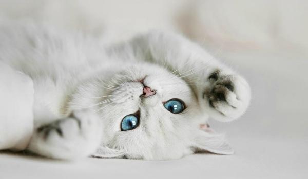 Белый кот с голубыми глазами - красивые фото, картинки, смотреть 23
