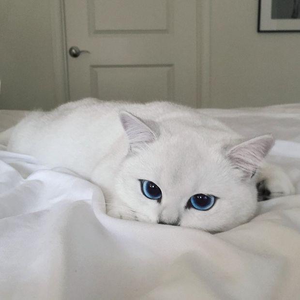 Белый кот с голубыми глазами - красивые фото, картинки, смотреть 25