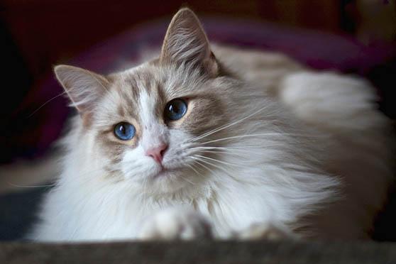 Белый кот с голубыми глазами - красивые фото, картинки, смотреть 4