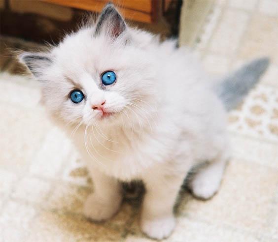 Белый кот с голубыми глазами - красивые фото, картинки, смотреть 7