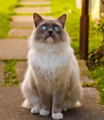 Белый кот с голубыми глазами - красивые фото, картинки, смотреть 8