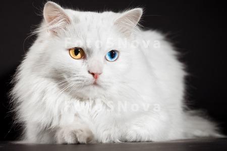 Белый кот с разными глазами - смотреть фото, картинки, бесплатно 1