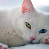 Белый кот с разными глазами - смотреть фото, картинки, бесплатно 10