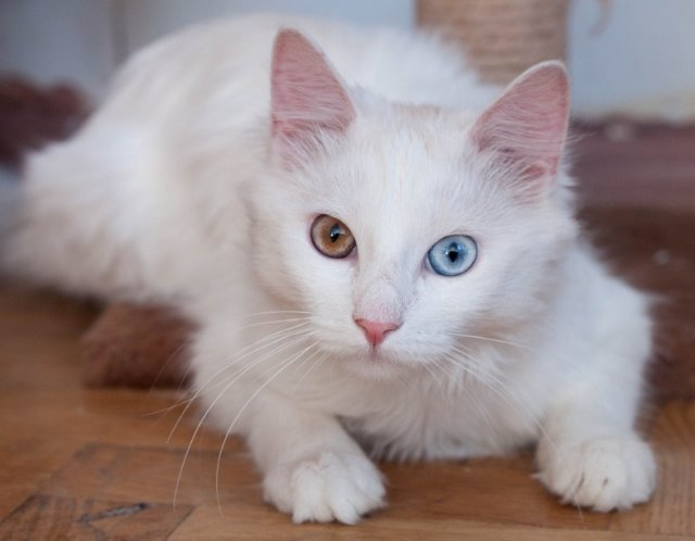 Белый кот с разными глазами - смотреть фото, картинки, бесплатно 12