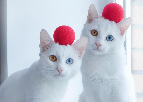 Белый кот с разными глазами - смотреть фото, картинки, бесплатно 13