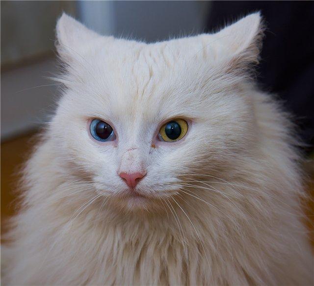 Белый кот с разными глазами - смотреть фото, картинки, бесплатно 14