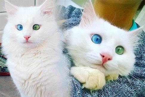Белый кот с разными глазами - смотреть фото, картинки, бесплатно 16