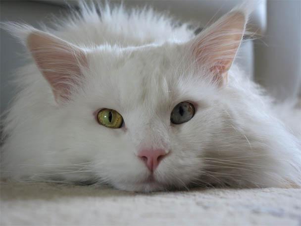 Белый кот с разными глазами - смотреть фото, картинки, бесплатно 18