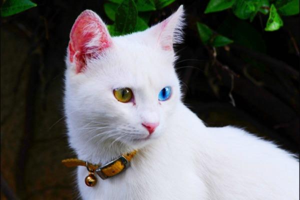 Белый кот с разными глазами - смотреть фото, картинки, бесплатно 2