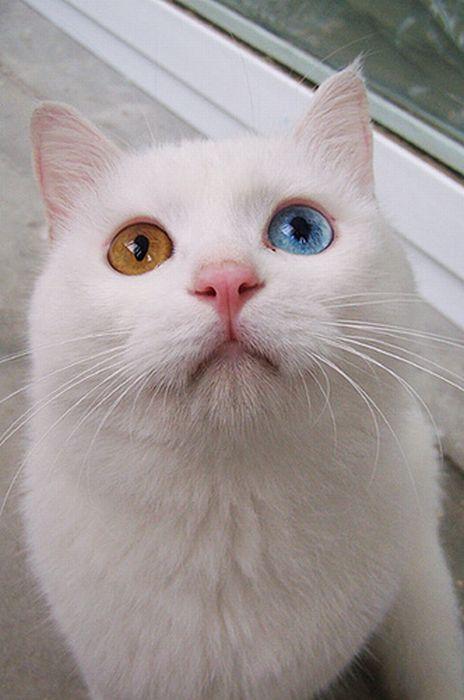 Белый кот с разными глазами - смотреть фото, картинки, бесплатно 3