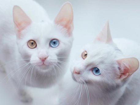 Белый кот с разными глазами - смотреть фото, картинки, бесплатно 4