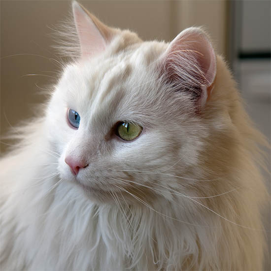 Белый кот с разными глазами - смотреть фото, картинки, бесплатно 7