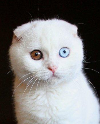 Белый кот с разными глазами - смотреть фото, картинки, бесплатно 8