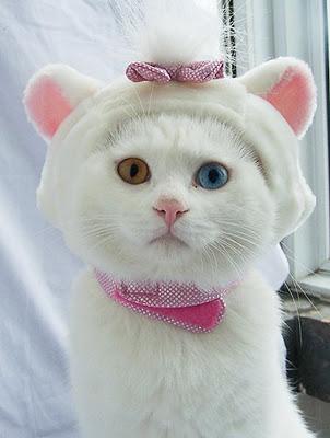 Белый кот с разными глазами - смотреть фото, картинки, бесплатно 9