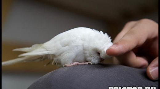 Попугай кусается - что делать Как отучить попугая кусаться 2