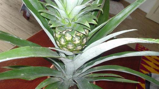 Как вырастить ананас в домашних условиях - посадка, уход 1