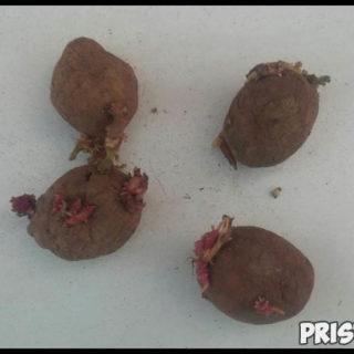 Можно ли есть проросшую картошку Картофель и здоровье человека 2