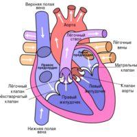 Строение сердца человека - анатомия, схема, функции 2