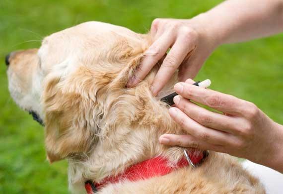 Как вытащить клеща у собаки в домашних условиях - советы и способы 2
