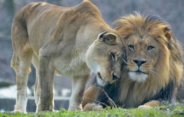 Красивые картинки львов и львиц - удивительные, прикольные и крутые 10