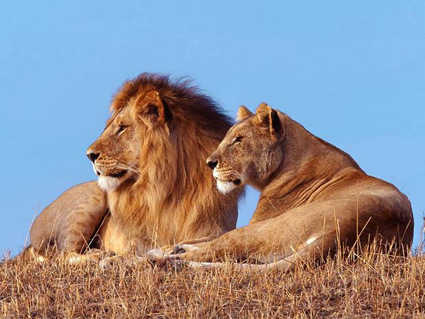 Красивые картинки львов и львиц - удивительные, прикольные и крутые 12