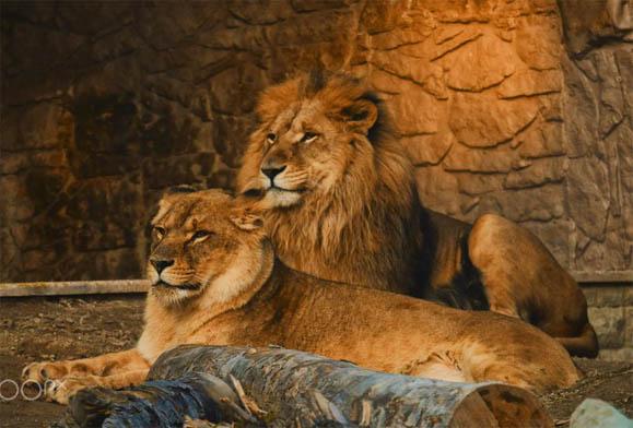 Красивые картинки львов и львиц - удивительные, прикольные и крутые 13