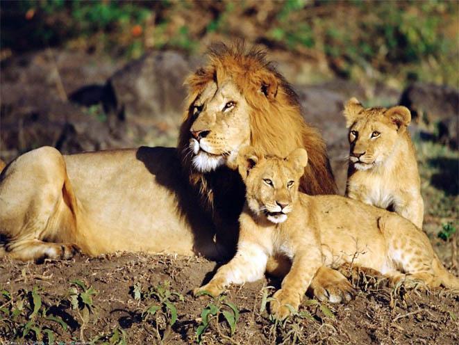 Красивые картинки львов и львиц - удивительные, прикольные и крутые 14
