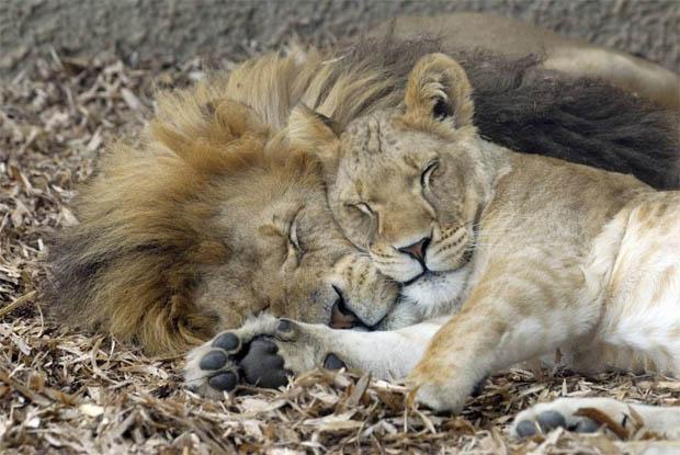 Красивые картинки львов и львиц - удивительные, прикольные и крутые 2