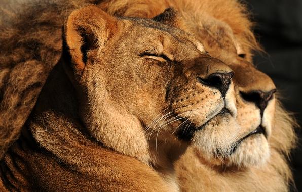 Красивые картинки львов и львиц - удивительные, прикольные и крутые 3