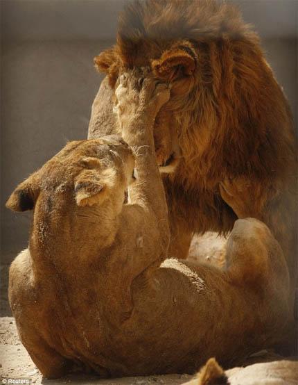 Красивые картинки львов и львиц - удивительные, прикольные и крутые 5
