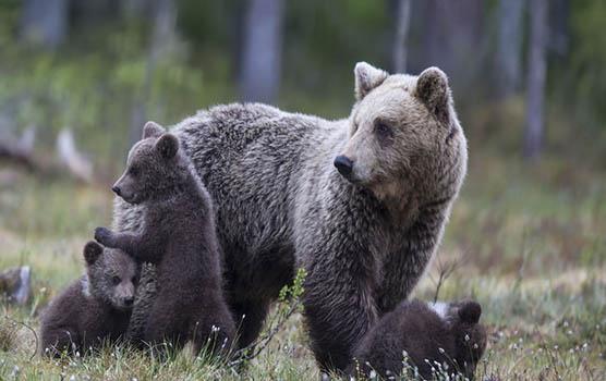 Медведица с медвежатами - красивые фото и картинки, удивительные 1